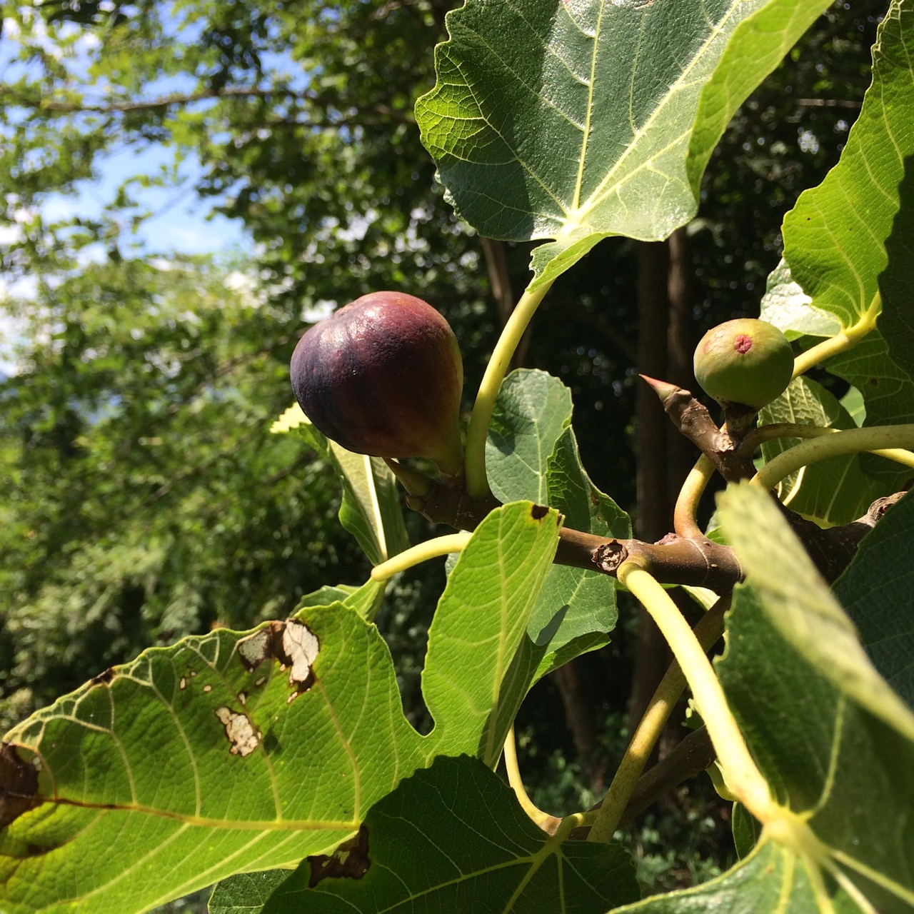 fig tree in season
