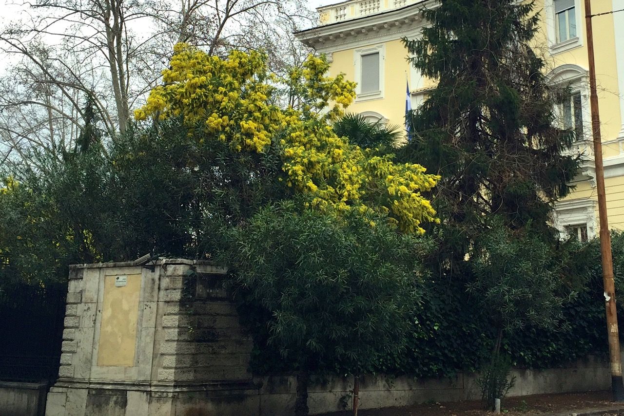 mimosa tree in rome