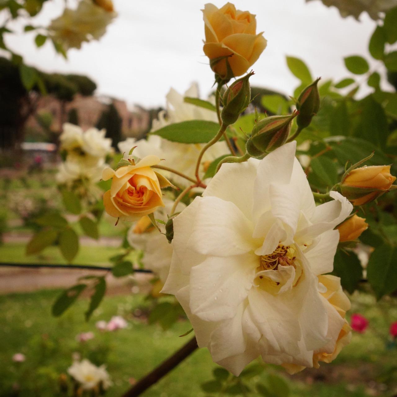 rome's roseto rose garden