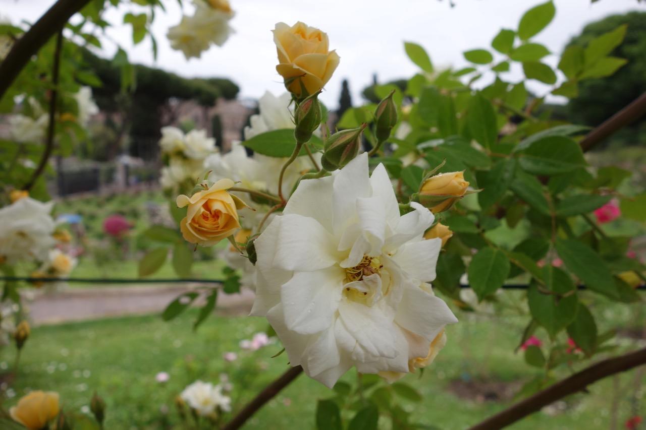 roseto rose garden in may