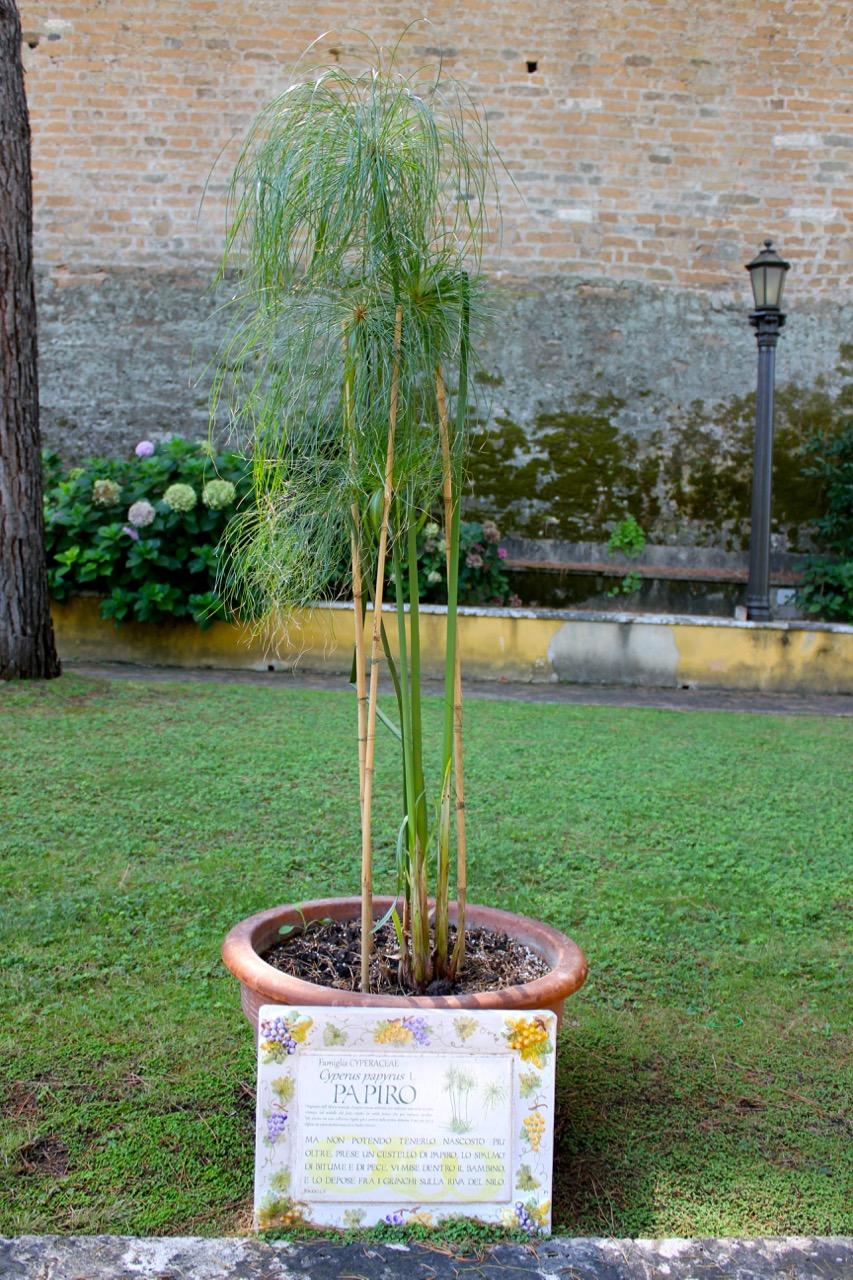 papyrus plant in vatican garden